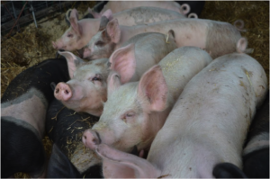 Yorkshire and Hampshire piglets lazily enjoy some downtime on a straw bed after a meal.