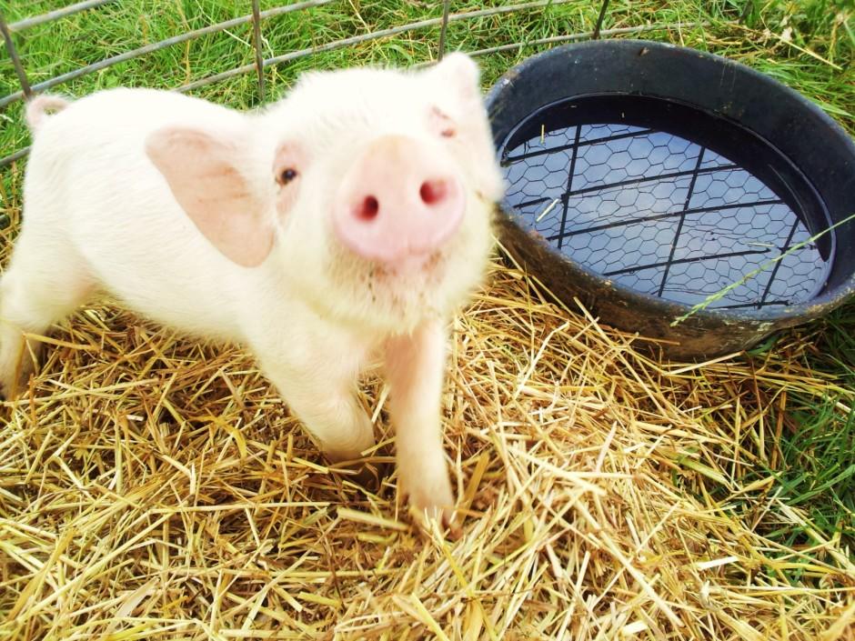 This Little Piggy Petunia
